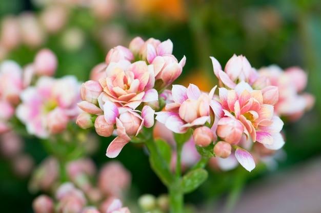 カランコエblossfeldiana、炎のあるケイティの花