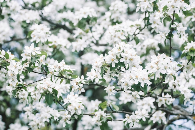 화창한 봄 하늘 고품질의 배경에 봄에 꽃 사과 나무 봄 배경 피 나무 photo