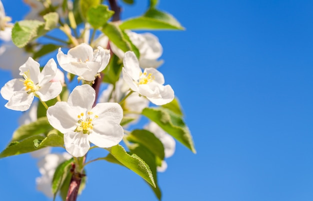 Blossom apple tree. white spring flowers closeup. copy space.