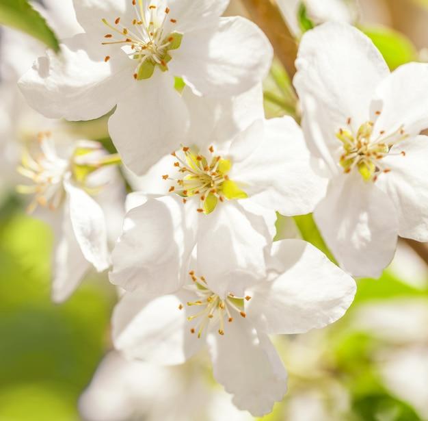 Blossom apple tree. white spring flowers closeup