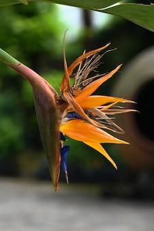 Blossom bird of paradise/ strelitzia exotic tropical flower