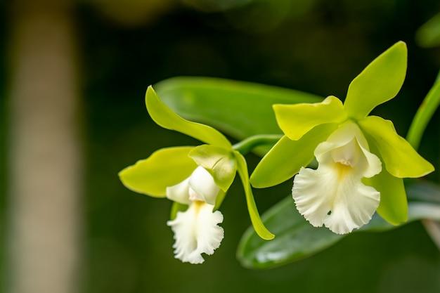 Цветущая каттлея орхидей в саду