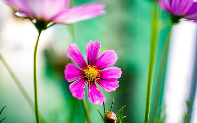카트만두 네팔의 꽃 코스모스 꽃