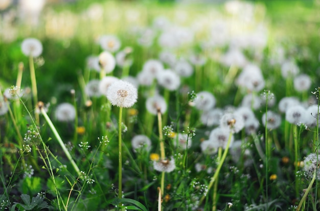 Blossom dandelions at the spring mood with blurry green