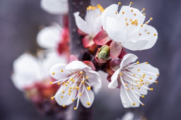 봄의 꽃 살구 나무 가지의 근접 촬영입니다.