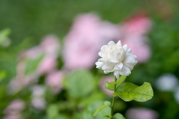 Цветок жасмина цветения на саде.