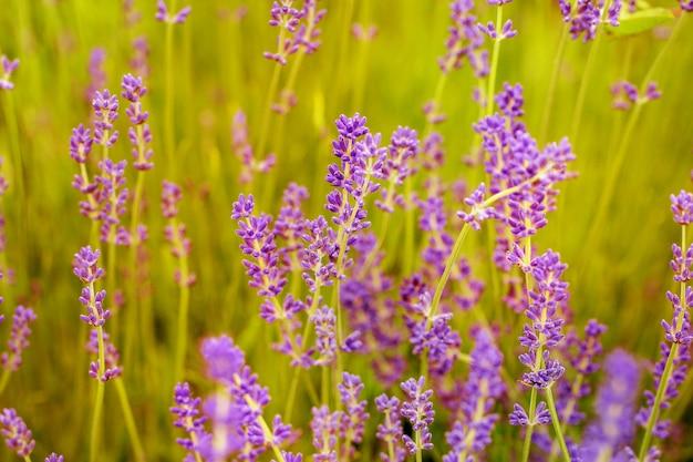 Цветущее лавандовое поле