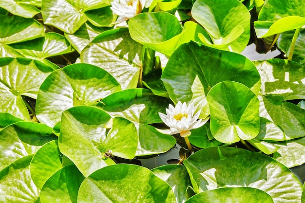 Blossom lotus in typical chinese garden, park. beijing.china.