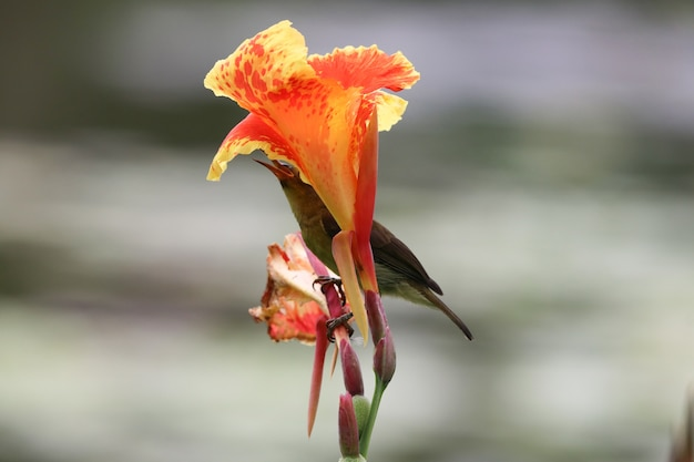 Blossom orange canna flowers beautiful color with bird feeding nectar