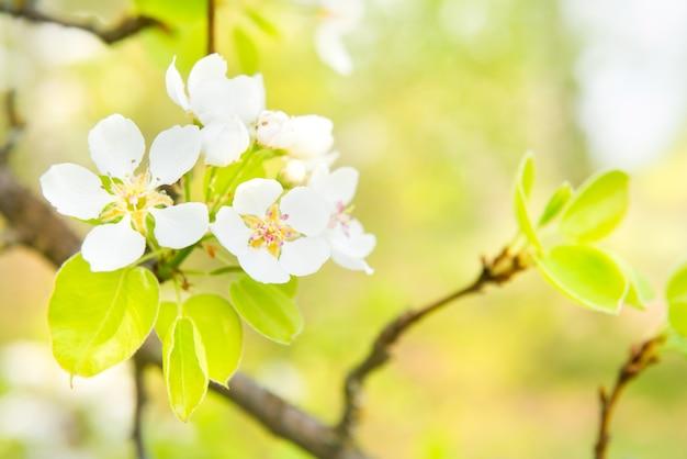 白い花と緑の背景の花梨の木