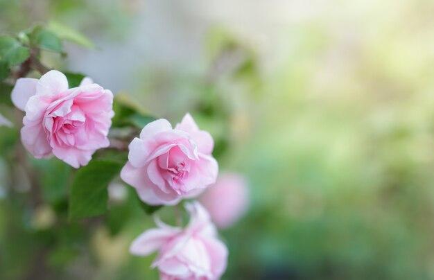 Blossom pink rose flower in a garden.