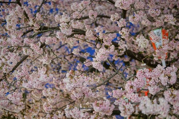 Blossom pink sakura and lamp