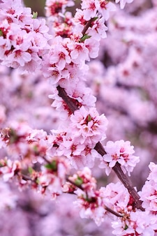 Blossom pink tree in nature