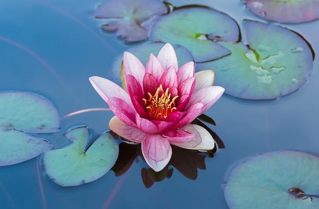 緑の葉に囲まれた池に咲くピンクの睡蓮