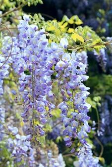 春の公園(クリミア半島、ウクライナ)の紫色の花と花の植物「藤sinensis」