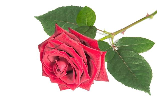 白のバーガンディ色の花のバラのクローズアップ
