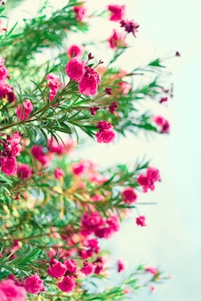 Blossom spring, exotic summer, sunny day concept. blooming pink oleander flower or nerium in garden. wild flowers in israel.