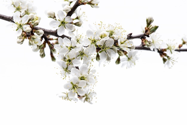 Blossom. tree branch with cherry blossom isolated on white background.