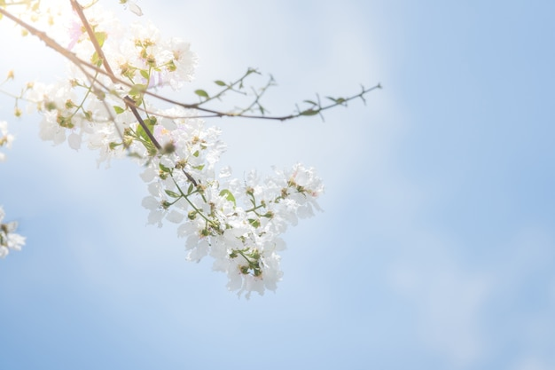 Blossom tree spring flowers with blue sky background