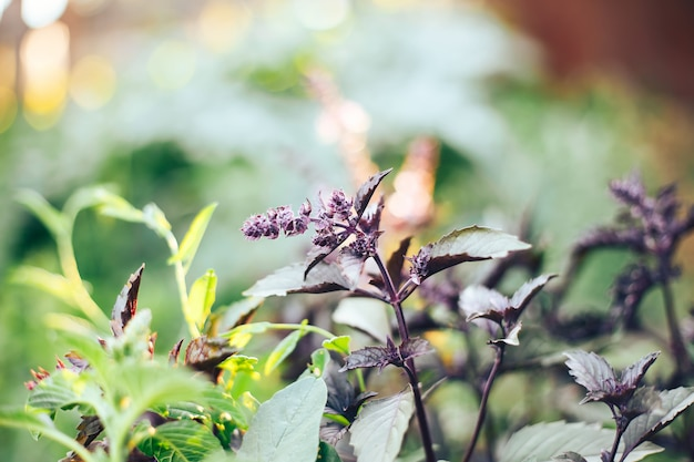 Blossom violet basil in garden sunlight selected focus