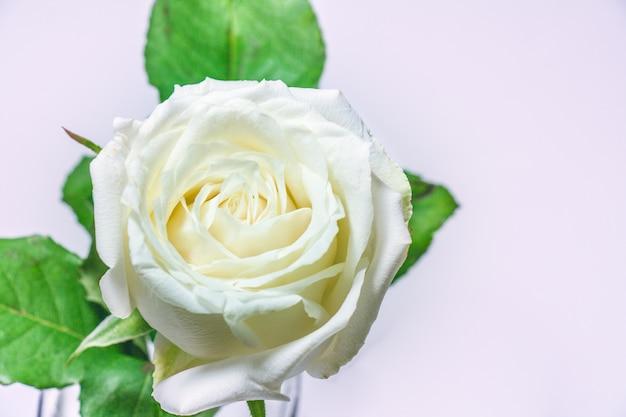 Blossom white rose, valentines concept