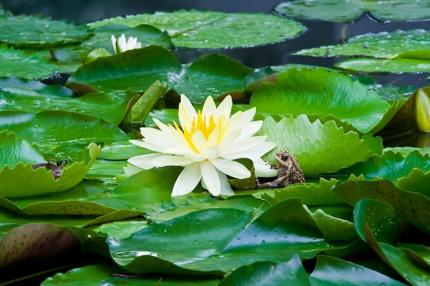 Blossom of yellow lotus flower, saint luis gold, with frog.