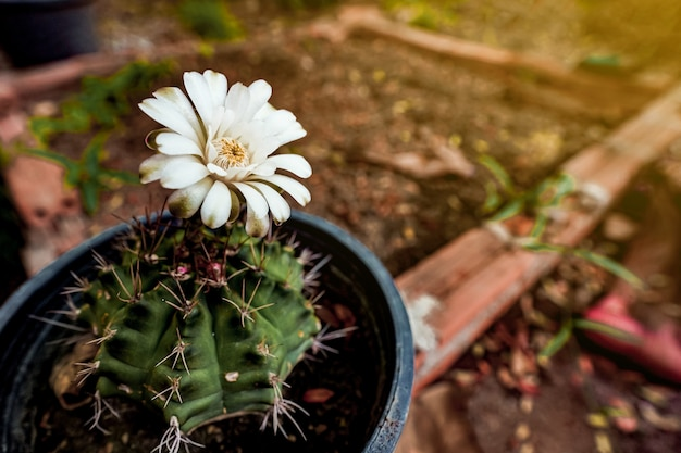 Blossom of yimno cactus flower with copy space