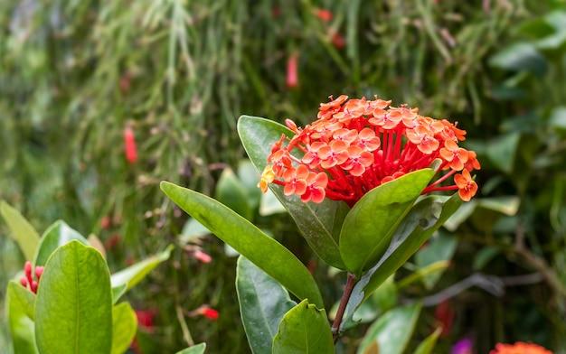 庭の葉と花の真っ赤なイクソラの花のクローズアップ