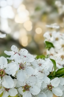 Цветущие цветы вишневого дерева