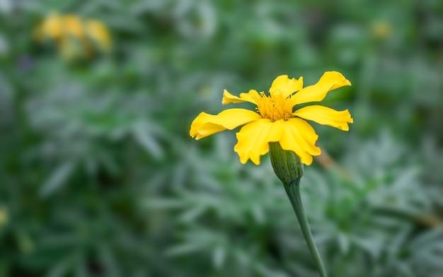開花したマリーゴールドの花がコピースペースのある庭にクローズアップ