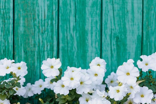 Цветущие цветы петунии, изолированные на синем