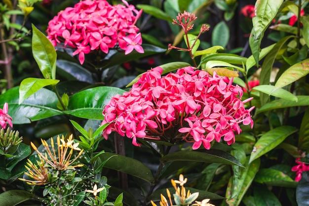 庭に咲くピンクのイクソラの花のクローズアップ