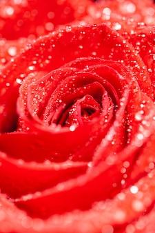 꽃잎에 물을 뿌린 꽃이 만발한 빨간 장미. 단일 빨간 장미입니다. 장식용 꽃입니다.