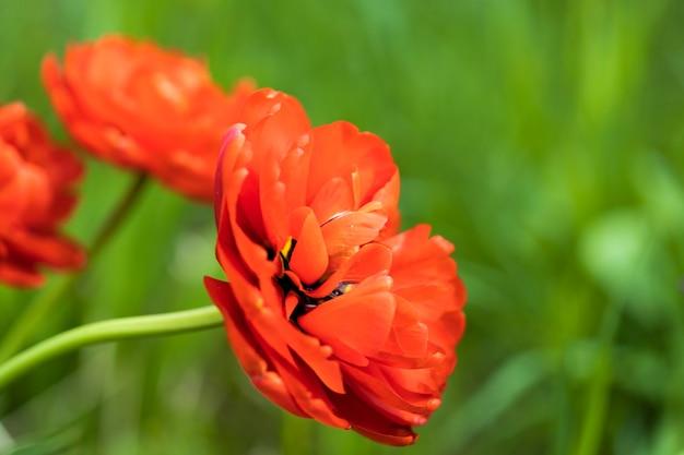 여름에 자연에서 꽃이 만발한 빨간 튤립입니다. 고품질 사진