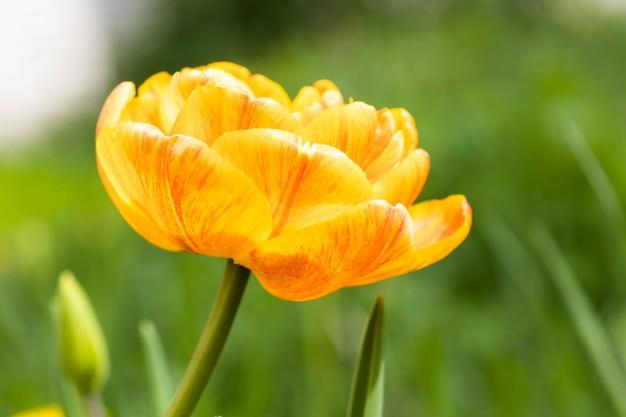 여름에 자연 속에서 꽃이 만발한 노란 튤립 클로즈업. 고품질 사진