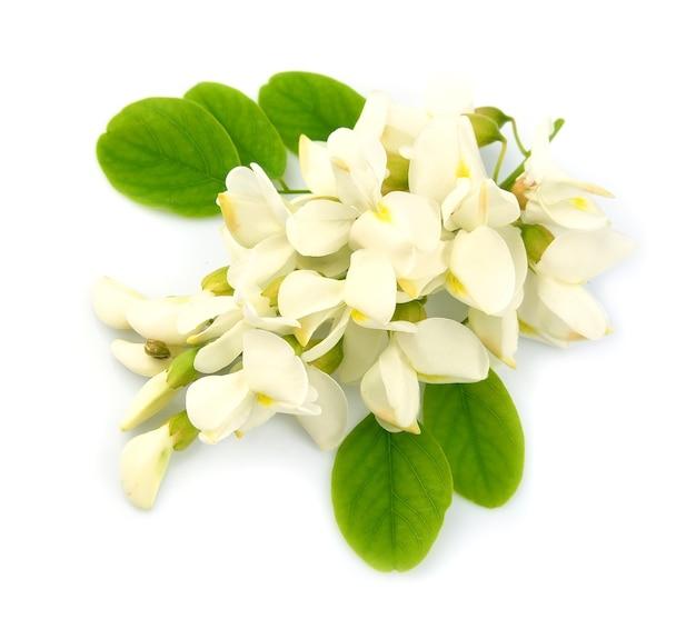 Цветущая акация с листьями на белом крупным планом