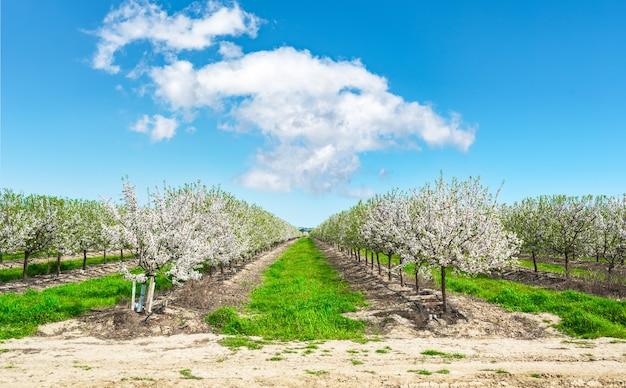 꽃이 만발한 아몬드 나무 농장 풍경