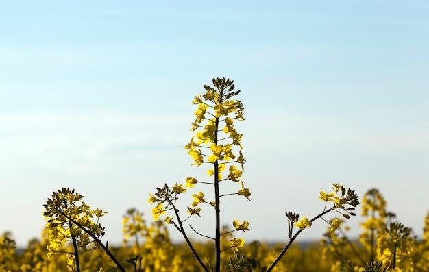 Цветущие и цветущие кусты желтого рапса на фоне голубого неба.