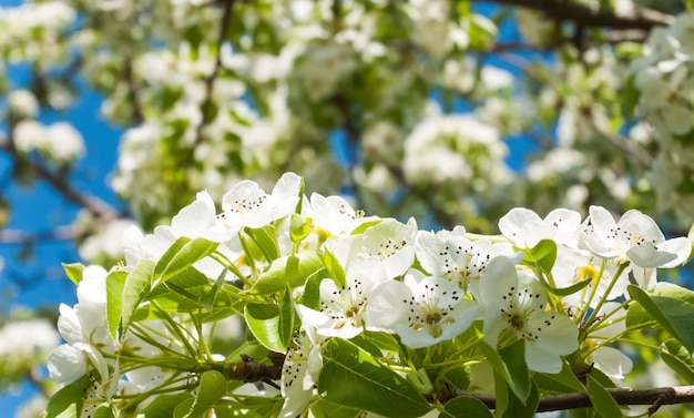 Blossoming apple tree background