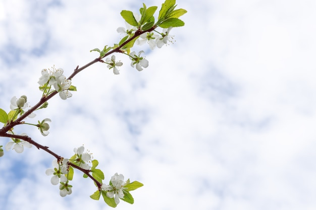 Blossoming apple tree close up shot against blue sky, copy space