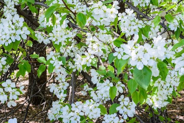 Цветущая яблоня (malus prunifolia, китайская яблоня, китайская крабапла) распространяет ароматный аромат. яблоня в полном цвету на солнце. цветы яблони крупным планом. весна.