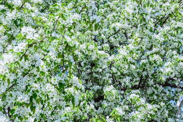 꽃이 만발한 사과나무(malus prunifolia, 중국 사과, 중국 게 사과)가 향기로운 향을 퍼뜨립니다. 햇빛에 만개한 사과나무. 꽃 사과 나무 클로즈업입니다. 봄날.