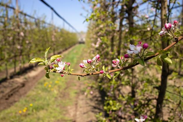 Цветущий яблоневый сад и ветка с цветущими цветами во время опыления в весенний сезон.