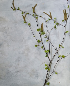 Blossoming birch branch with young leaves on a gray background, top view, copy space