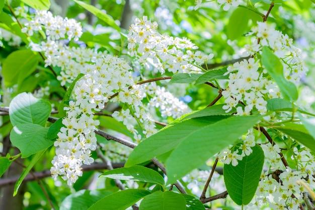 꽃이 만발한 새벚꽃(prunus padus, hagberry, mayday tree)이 향기로운 향을 퍼뜨립니다. 햇빛에 만개 hackberry 나무입니다. 꽃 새 벚꽃 클로즈업입니다. 봄날.