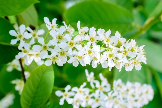 부드러운 햇빛에 꽃이 만발한 새 체리(prunus padus). 꽃 새 벚꽃 클로즈업입니다. 매크로 사진 피 hagberry(메이데이 나무)입니다. 봄날.