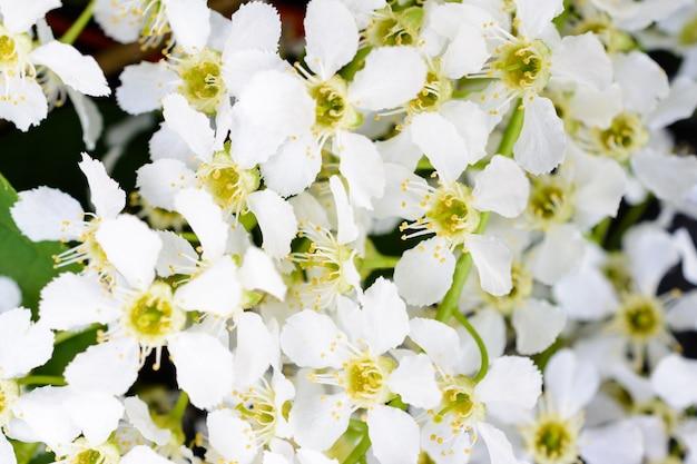 Цветущая черемуха (prunus padus) на мягком солнечном свете. цветы черемухи крупным планом. макро фотография цветущего баклажана (первомайское дерево). весна.