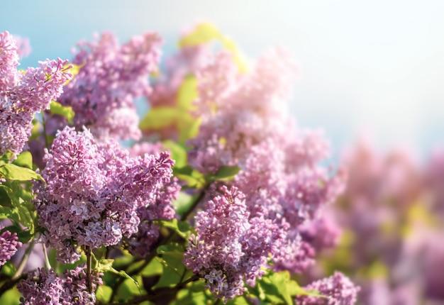Цветущая ветка фиолетовой сирени