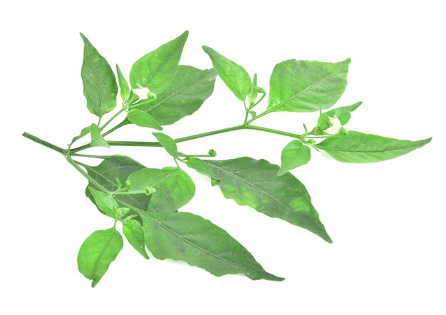 Blossoming branch of pepper with green leaf. isolated on white background.