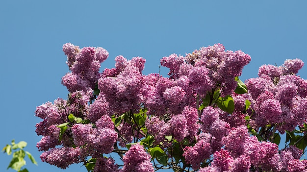 Blossoming branch of a pink lilac